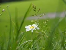 A simple daisy. Surrounded by luscious green grass Stock Photography