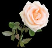 Simple de crème légère d'isolement sur la rose de noir Photo libre de droits