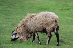 Simple And Easy Way Of Life One Sheep On Pasture. One Sheep on pasturage beautiful way of slowly life and freedom of living.  livestock in Germany Stock Photos