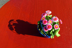 Simple flower decoration with English daisies on red table. A scratched wooden table outside in the sunlight with a flowerpot of Bellis perennis Bellissima Rose royalty free stock photo