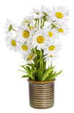 Simple gentle lonely daisies Stock Photos