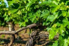 Simple graphic landscape of grape vines. Close-up stock photo
