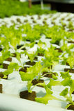 Simple Hydroponic System Growing Lettuce Royalty Free Stock Photos