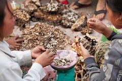 Simple life. A lot of Paper wasp nest with larva in Laos woman hands, local exotic food in Laos and southeast asia. daily morning stock photo