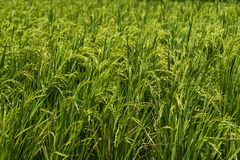 Close-up view of a rice field royalty free stock images