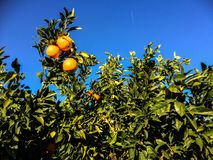 Simple orange tree and a blue sky. With an airplane Stock Photography