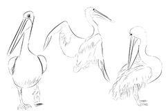 Simple Outline Sketch of Three Pelicans Bird. Vector Simple Outline Sketch of Three Pelicans Bird Stock Image