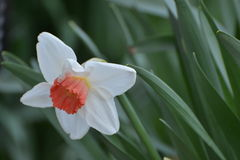 Simple peach daffodil Royalty Free Stock Photography