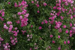 Simple photo background pattern of shrubs of rose stock photos