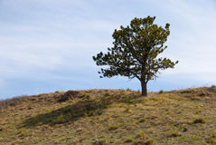 Simple Pine Tree on the Crest of a Hill Royalty Free Stock Photo