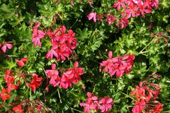 Simple pinkish red flowers of ivy-leaved geranium. Simple pinkish red flowers of ivy leaved geranium stock images