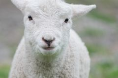Baby white lamb stock images