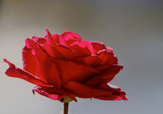 Simple Red rose Royalty Free Stock Photos