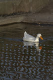 Simple river wildlife. Aesthetic image of white duck on patterne Royalty Free Stock Photo