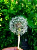 A simple shot of dandelion stock photo