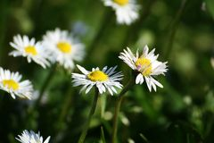 Simple spring daisy flowers Stock Photography