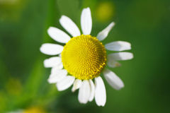 Simple summer blooming daisy Royalty Free Stock Image
