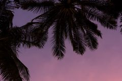 Palm tree and purple sunset. Stock Images