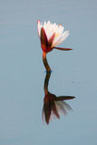 Simple water lily Stock Photos