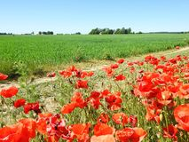 Beautiful red poppy flowers in field, Lithuania Royalty Free Stock Photos