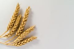 Simple wheat close up on white background royalty free stock image