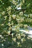 Simple white flowers of Styphnolobium japonicum. Tree Stock Image