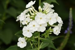 The Simple White Purity of Phlox Paniculata , cultivar Danielle. The Simple White Purity of Phlox Paniculata cultivar Danielle oozes its calm beauty and stock photos