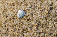 Simple white shell on sand beach closeup Royalty Free Stock Photography