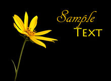 Simple yellow flower on black. Single yellow flower on black background with copy space Stock Image
