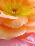 Simplement Rose photographie stock libre de droits