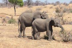 Simplemente elefantes Fotografía de archivo libre de regalías