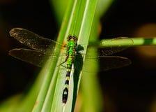 Simplicicollis del este de Erythemis de la libélula de Pondhawk Foto de archivo