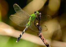 Simplicicollis del este femeninos de Erythemis de la libélula de Pondhawk Imagen de archivo