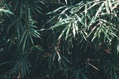 The simplicity of bamboo leaves. The beauty of the simplicity of bamboo leaves Royalty Free Stock Images