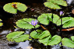 Simplistic beauty. Bright green lilly pads the purple flowers Stock Image