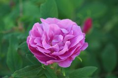 Simplistic Beauty of pink rose. Richness of rose bloom pure pink Royalty Free Stock Photography
