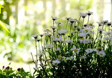 Simply daisies in the green garden. At may fulsun  and blurry background stock image