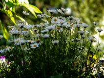 Simply daisies in the green garden. At may fulsun  and blurry background stock photos