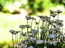 Simply daisies in the green garden. At may fulsun  and blurry background stock photography