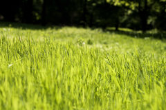 Simply grass Stock Image