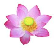 Simply Lotus Stock Photo