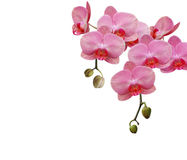 Simply pink orchid Royalty Free Stock Images