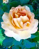 Simply rosey. Yellow rose in full bloom close up royalty free stock photos