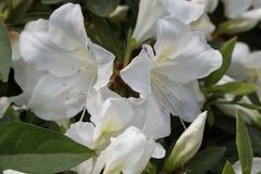Simsii Planch de rhododendron image stock