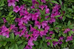 Simsii Planch de rhododendron image libre de droits