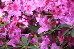 Simsii Planch för Rhododendronï ¼ˆRhododendron ??-?? arkivfoton