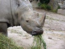 Simu di simum di Ceratotherim o rinoceronte bianco Immagine Stock Libera da Diritti