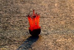Simul Flower on the Street Stock Photograph. The red blooming simul flower fallen on the street captured during the autumn season in Bangladesh Royalty Free Stock Images