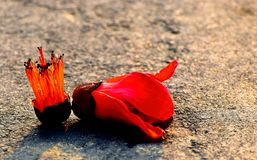 Simul Flowers Red Coloured Lying on the Streets Photograph. The natural simul flowers mostly common one with reddish colour lying on a road or street stock Stock Image