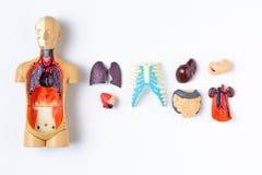 Simulacre en plastique d'homme avec les organes internes sur un fond blanc Modèle de enseignement du corps humain images stock